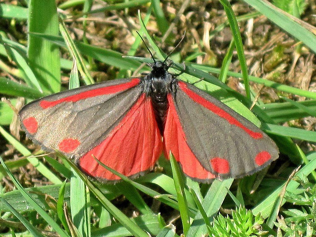 Un papillon Tyria Jacobaeae (image Wikipédia)