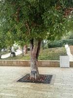 L'arbre planté à Yad Vashem par Irena